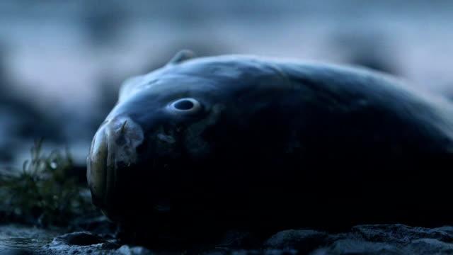 döda fiskar ligger på havsstranden, globala miljöproblem föroreningar, närbild - utdöd bildbanksvideor och videomaterial från bakom kulisserna