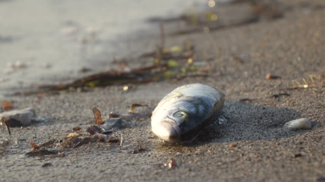 Dead fish on the beach 4K 3840x2160 / 29.97p / Photo-JPEG / Real Time dead animal stock videos & royalty-free footage