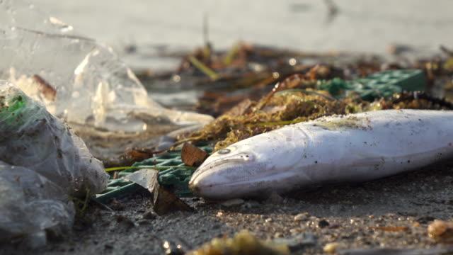 stockvideo's en b-roll-footage met dode vis aan wal wassen door vervuiling van de zee - dood dier