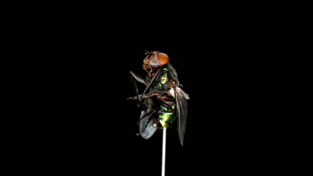 dead fly rotates on a black background