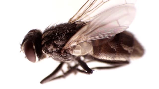 dead fly under the microscope - torace animale video stock e b–roll