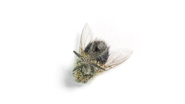 Dead fly with eggs of larva on the rotating table video
