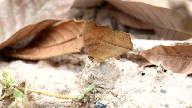 Dead Leaf Butterfly (Kallima inachus) video