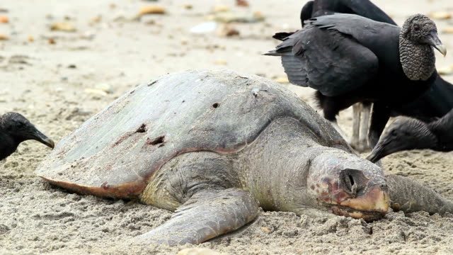 Dead loggerhead turtle eaten by black vultures marine, turtle, loggerhead, caretta, ocean, reptile, endangered, species, iucn, pacific, coast, beach, sand, dead, climate, change, global, warming, sea, tide, stranded, sun, decay, ecology, environment, nature, ecuador, carrion, eat, feed, black, vulture, conservation, fishing, net, death, rot, corpse, drown, no people, long shot dead animal stock videos & royalty-free footage