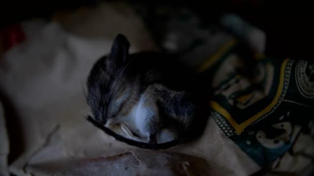 ölü fare yiyecek bir çanta üzerinde yatıyor - kemirgen stok videoları ve detay görüntü çekimi