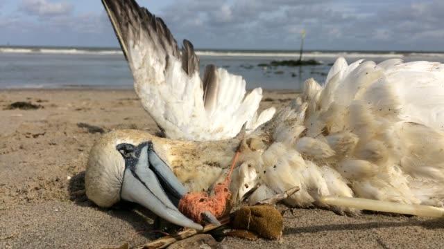 vidéos et rushes de gannet nordique mort piégé dans le filet de pêche en plastique - plastique