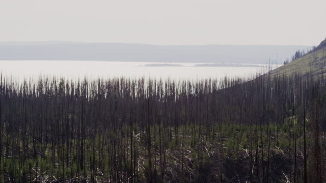 Dead Pine Trees (Pine Beetle Damage) Overlook Yellowstone Lake in Yellowstone National Park under a Hazy Sky