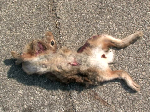 Dead Rabbit With Flies A dead rabbit with a broken neck lies on the pavement, with flies landing on it dead animal stock videos & royalty-free footage
