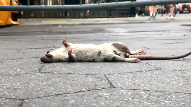 dead rat face up in the street - cars driving and people walking by rotting rodent carcass decaying on sidewalk with insects flying around in New York City dead animal stock videos & royalty-free footage