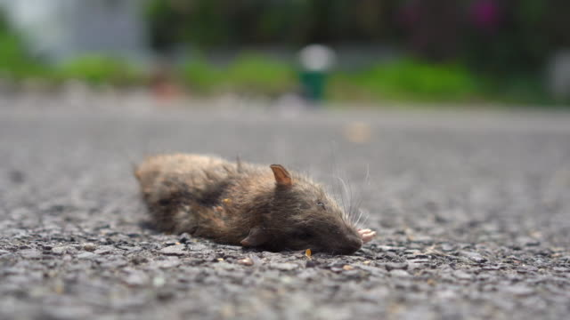 A dead rat laying on a ground. poison for rats concept A dead rat laying on a ground. poison for rats concept. dead animal stock videos & royalty-free footage