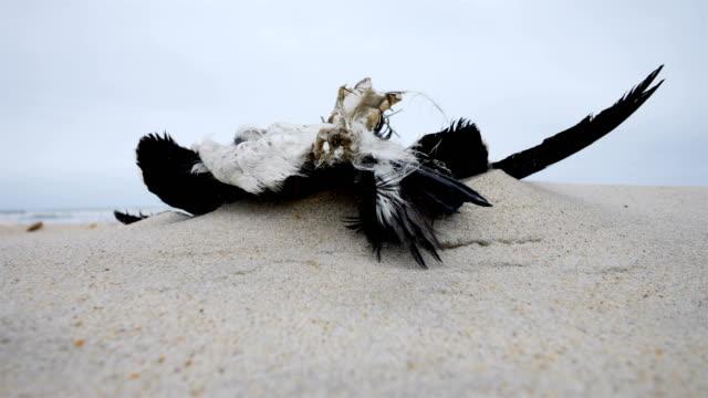 vidéos et rushes de mouette morte sur la plage - desastre natural