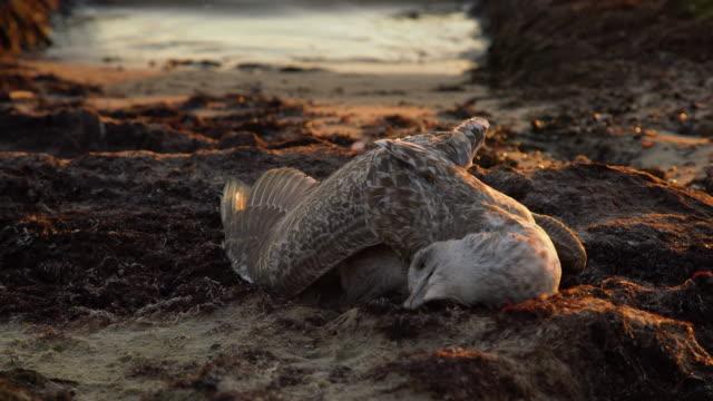ölü martı gün batımında deniz kıyısına vurdu. kıyı şeridinde kumda yatan ölü deniz kuşu. su kirliliği. küresel ısınma. - ölü stok videoları ve detay görüntü çekimi