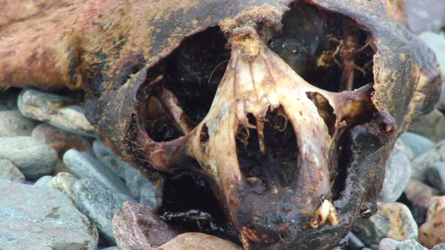 Dead Seal Close-up of the skull of a dead seal. dead animal stock videos & royalty-free footage