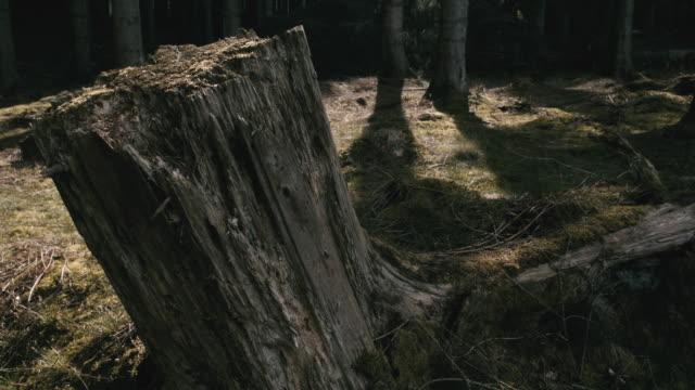 dead stump - хвойное дерево стоковые видео и кадры b-roll