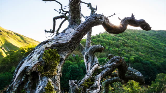 Dead tree trunk in the hills growing on the side of a cliff video