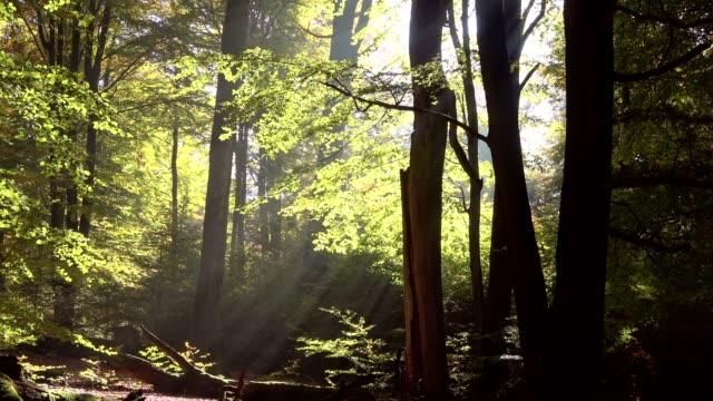 Dead wood, oak woods, oak trees, quercus, fagus, beech, beech forest, laubwald, deciduous forest, wood, autumn,  Spessart, bavaria, 4K – film