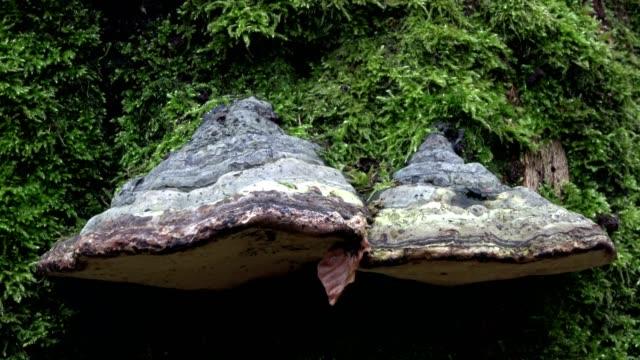 Dead wood, tree fungi, Fomes fomentarius, oak woods, oak trees, quercus, fagus, beech, beech forest, laubwald, deciduous forest, wood, autumn,  Spessart, bavaria, 4K – film