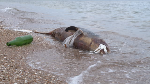 dead young dolphin on the sea shore. earth wildlife, environmental pollution, ecological catastrophe. dead animal - morte video stock e b–roll