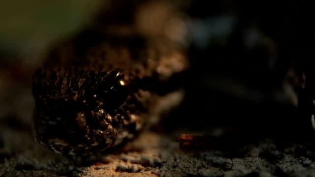 death adder rack focus on eye video