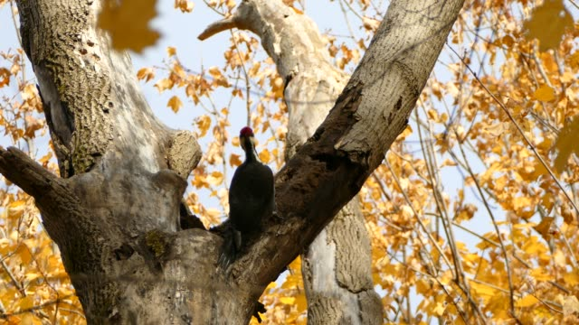 Debris fly away from head of woodpecker pecking on opened up branch