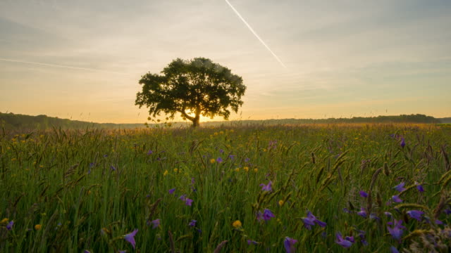 8k t/l deciduous tree in the meadow at sunrise - 一棵樹 個影片檔及 b 捲影像