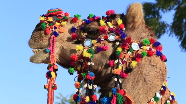 Decorated camel at Desert Festival in Jaisalmer, Rajasthan, India. Head camel video