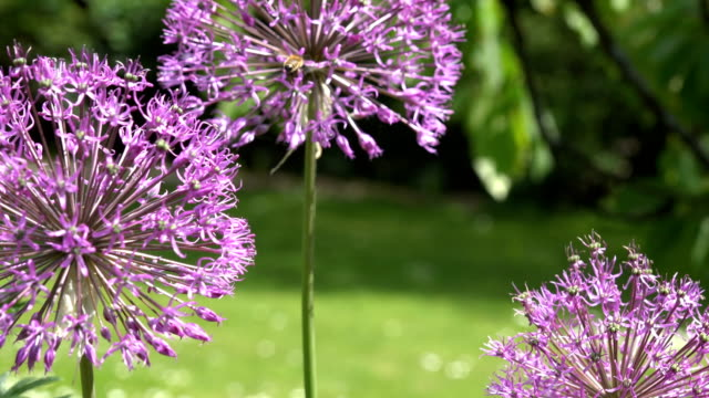decorative garlic allium flower move in wind and bee. Focus change. 4K