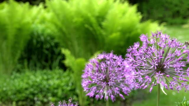 decorative garlic flower bloom move in wind. closeup shot. 4K