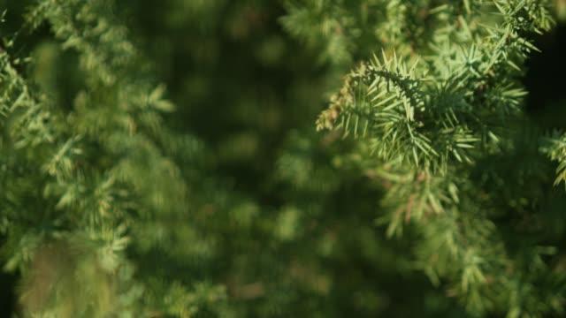 decorative juniper bush on the site. - jodła filmów i materiałów b-roll
