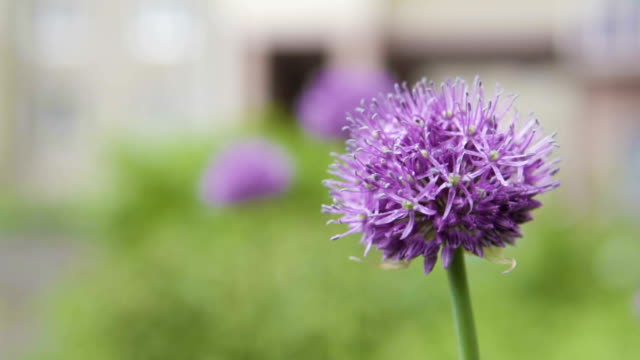 A decorative onions grows on a city flower bed.