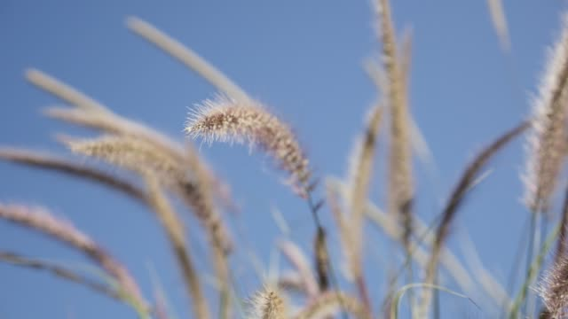 Decorative wide wheat on the wind shallow DOF slow-mo Decorative wide wheat on the wind shallow DOF slow-mo 1920X1080 HD footage - Slow motion swaying yellow grass moving against blue sky 1080p FullHD video 20th century stock videos & royalty-free footage