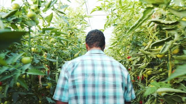 dedicated young male farmer in the greenhouse. - carrellata video stock e b–roll