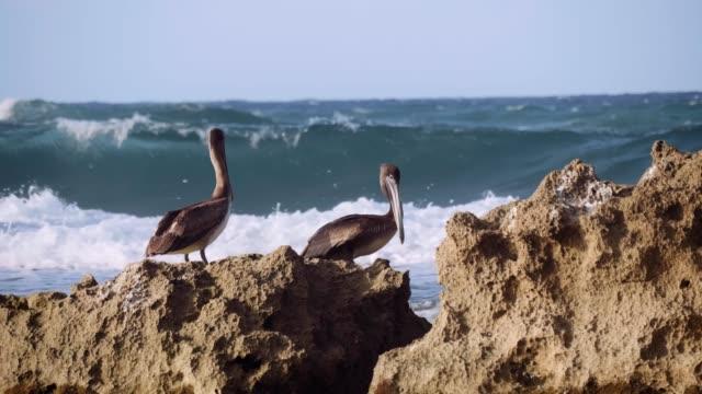 Deep Diving Pelicans in Puerto Rico. Deep Diving Pelicans in Puerto Rico. Shot in 4K on a cinema camera. pelican stock videos & royalty-free footage