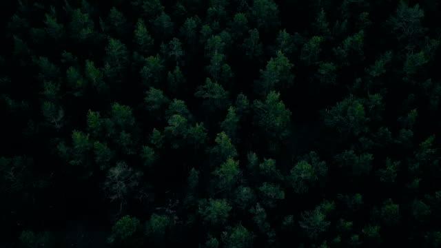deep forest - jodła filmów i materiałów b-roll
