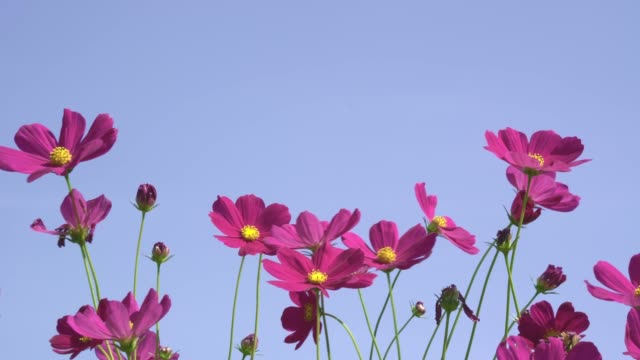 deep pink cosmos flower spring time windy day - pistillo video stock e b–roll