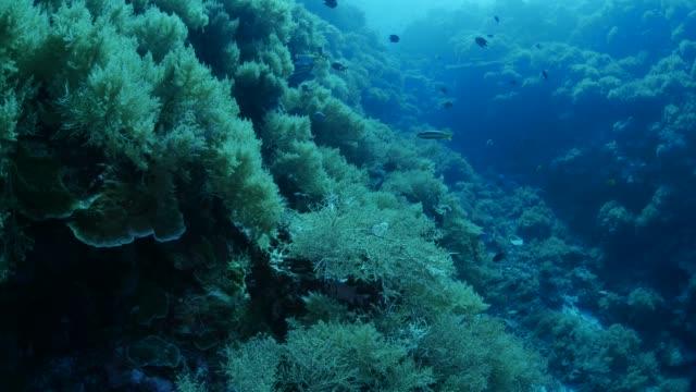 Deep sea coral reef underwater Underwater, Palau - May 28, 2017 : Scuba diving undersea (2017_0520_0531-0528_1000_A) ocean floor stock videos & royalty-free footage