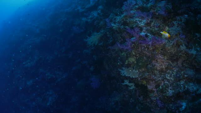Deep sea coral reef Underwater, Palau - May 25, 2017 : Scuba diving undersea (2017_0520_0531-0525_1715_A) ocean floor stock videos & royalty-free footage