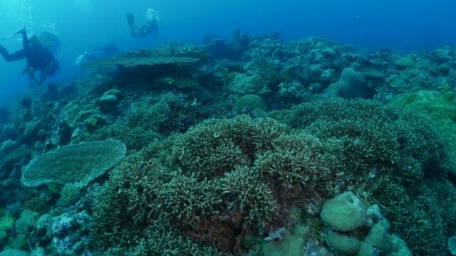 vídeos y material grabado en eventos de stock de arrecifes de aguas profundas, colonia coral duro - zona pelágica