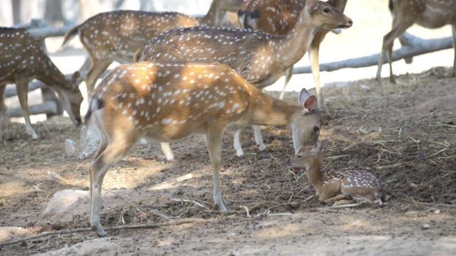 stockvideo's en b-roll-footage met herten en baby in zoo of boerderij - {{asset.href}}