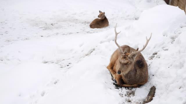 雪の落下で鹿 - 冬点の映像素材/bロール