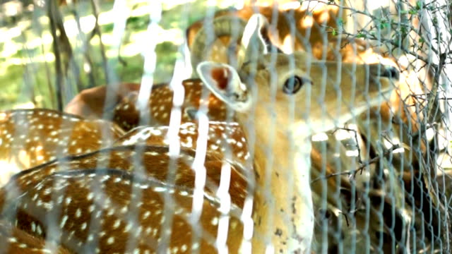 Deer bambi video