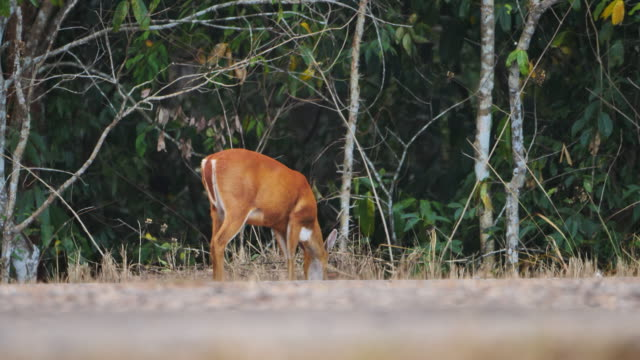 Deer eat grass in forest Khao Yai National Park Thailand. Wild animals Real time