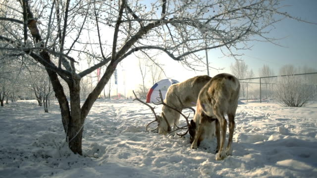 ウィンターパーク スローモーションで穀物を食べる鹿 ビデオ