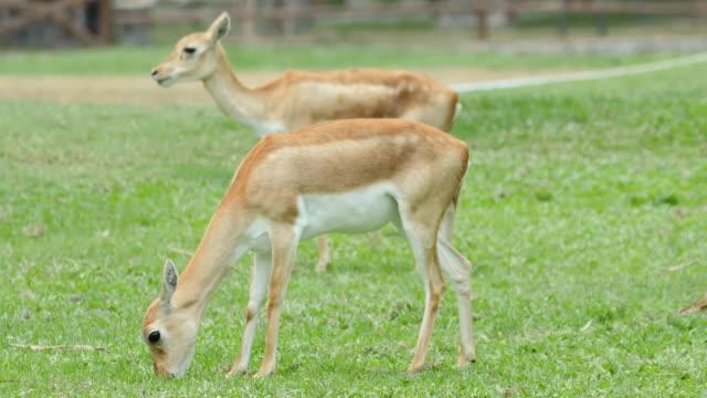 geyik otu yeme, 4k (uhd) - benekli geyik stok videoları ve detay görüntü çekimi