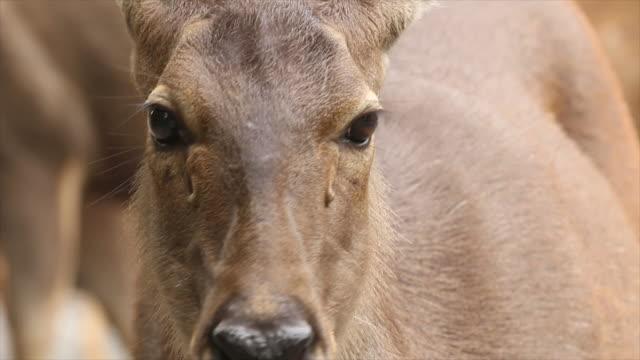 Deer Face video