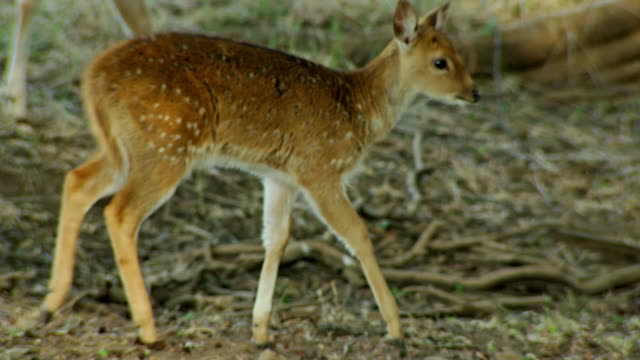 Deer fawn walking with mother Medium shot of Spotted deer and fawn walking through the tree area. Mother deer looking alert. The shot was taken at Ranthambore national park, India. environmental consciousness stock videos & royalty-free footage