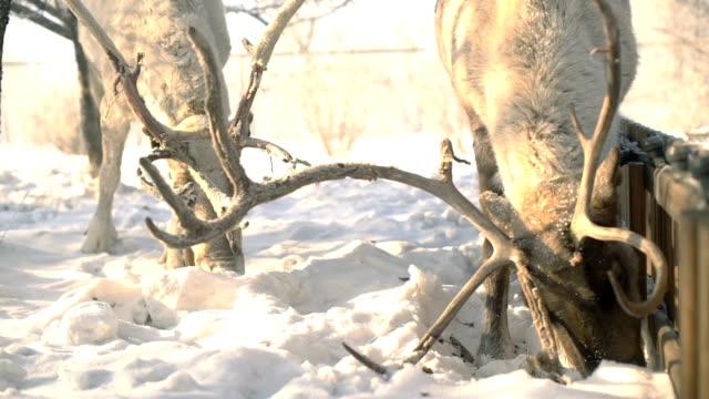 鹿冬スローモーションで食品のために戦う ビデオ