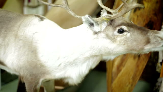 Deer foraging for food in the snowy woods video
