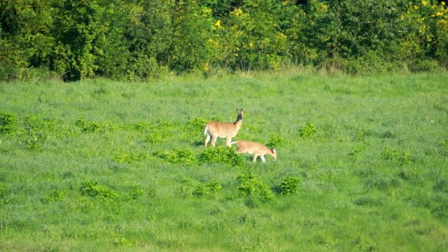 deer grazing in field - jelonek filmów i materiałów b-roll