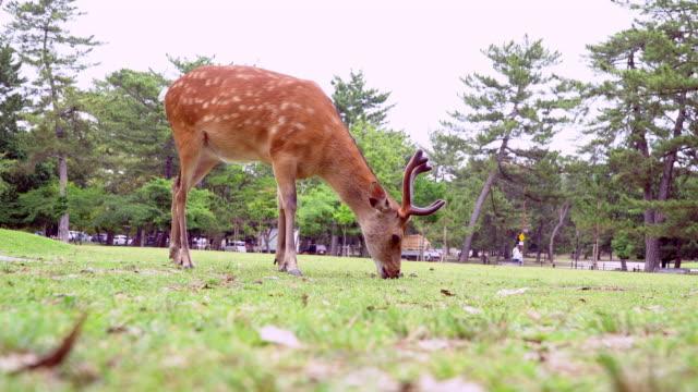japonya'da çimenlerin üzerinde otlatma geyik - benekli geyik stok videoları ve detay görüntü çekimi
